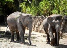 2 больших серых прогулки слона вдоль старого камня обнести тропический лес в парке сафари Стоковые Фотографии RF