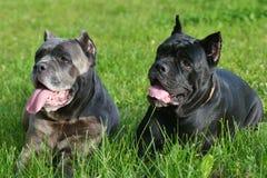 2 больших собаки в траве Стоковое Фото