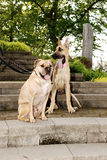 2 больших собаки Стоковые Фото