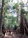 2 больших старых дерева в джунглях Стоковая Фотография RF