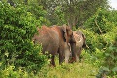 2 больших слона в щетке Стоковое фото RF