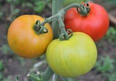3 больших томата растя на ветви Стоковые Изображения RF