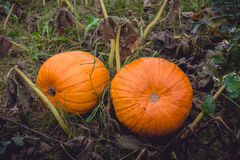 2 больших тыквы в оранжевом цвете Стоковые Изображения RF