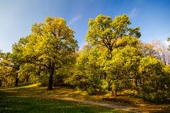 2 больших дуба осени с желтыми листьями Стоковые Фото