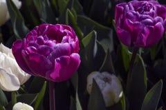 2 больших фиолетовых цветка с зелеными листьями Стоковые Изображения RF