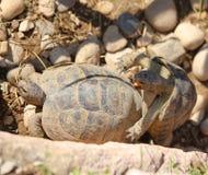 2 больших черепахи пока они сопрягают Стоковые Изображения