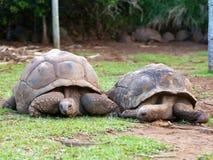 2 больших черепахи Сейшельских островов Стоковая Фотография RF