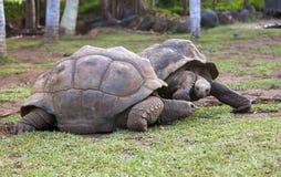 2 больших черепахи Сейшельских островов Стоковое фото RF