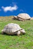 2 больших черепахи Стоковые Фотографии RF