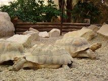 2 больших черепахи Стоковое фото RF