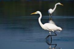 2 больших Egrets охотясь для рыб Стоковые Фотографии RF