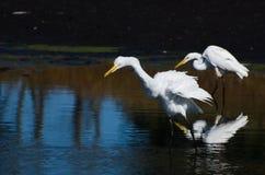 2 больших Egrets охотясь для рыб Стоковые Фото