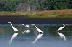 4 больших Egrets охотясь для рыб Стоковое Изображение