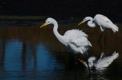 2 больших Egrets охотясь для рыб Стоковое Изображение