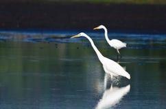 2 больших Egrets охотясь для рыб Стоковое Фото