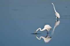 2 больших Egrets охотясь для рыб Стоковое фото RF