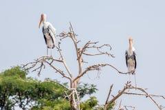 2 больших egrets садятся на насест на верхней части дерева с запачканной природой внутри Стоковое фото RF