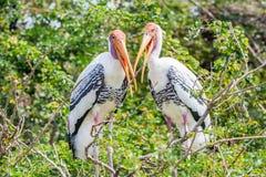 2 больших egrets сидя на верхней части дерева с запачканной природой Стоковая Фотография