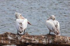 2 больших egrets сидя на хворостине дерева с запачканной природой po Стоковое Фото
