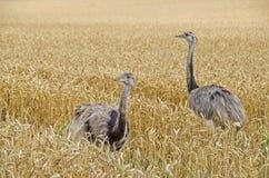 2 больших rheas Стоковые Фотографии RF