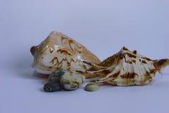 2 больших seashells и камешка моря на белизне Стоковые Изображения RF