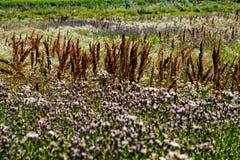 01 08 2011 большого группы поля сделала нидерландскими заводами изображения малое zelhem Стоковая Фотография