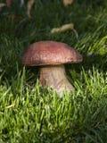 Большое белое porcini гриба в траве в солнце Стоковые Изображения
