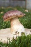 Большое белое porcini гриба в траве в солнце Стоковые Фотографии RF