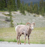 Большое вид спереди портрета овец рожка в Banff Стоковое Фото