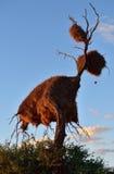 Большое гнездо, Намибия Стоковые Фото