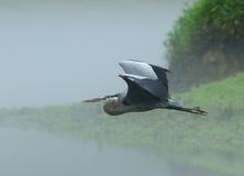 Большое голубое herron в полете Стоковое Фото