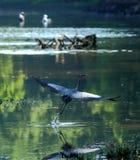 Большое голубое herron в полете Стоковое Изображение RF
