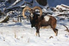 Большое европейское moufflon в лесе, дикое животное в среду обитания природы Стоковое фото RF
