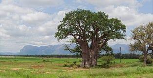 Большое дерево баобаба к западу от Hoedspruit, Южной Африки стоковые изображения