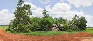 Большое дерево баобаба к западу от Hoedspruit, Южной Африки Стоковая Фотография