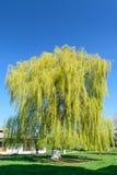 Большое дерево вербы против голубого ясного неба Стоковая Фотография
