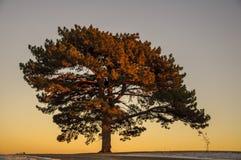 Большое дерево вяза Стоковое фото RF