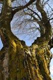 Большое дерево в лесе Стоковая Фотография RF