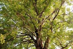 Большое дерево в меньшем саде Стоковое Изображение RF