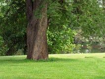 Большое дерево в саде Стоковое Фото