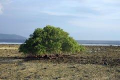 Большое дерево в середине пляжа Стоковое фото RF
