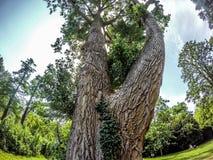 Большое дерево в Vondelpark Амстердаме Стоковые Изображения