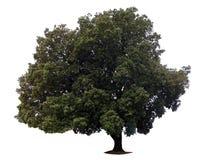 Большое дерево изолированное на белизне Стоковые Изображения RF