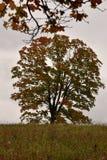 Большое дерево клена в луге в цветах осени Стоковое фото RF