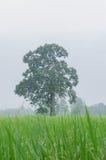 Большое дерево манго в поле риса Стоковые Изображения RF