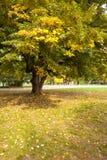 Большое дерево на луге в парке Стоковое Изображение RF