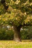 Большое дерево на луге в парке Стоковое Фото