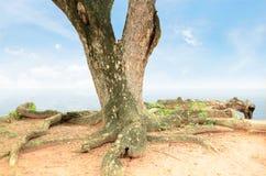 Большое дерево дождя Стоковое Изображение
