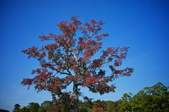 Большое дерево осени с красными листьями Стоковые Изображения RF