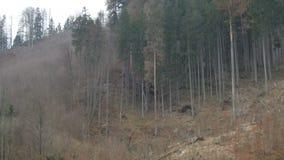 Большое дерево падая вниз, видеоматериал